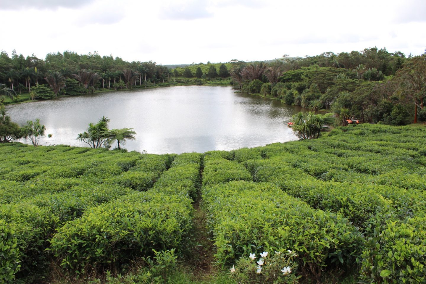 Tea tasting at Bois Cheri Tea Plantation in Mauritius