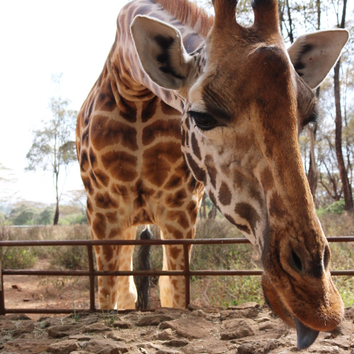 Feeding and Kissing Giraffes at The Giraffe Centre, Nairobi, Kenya