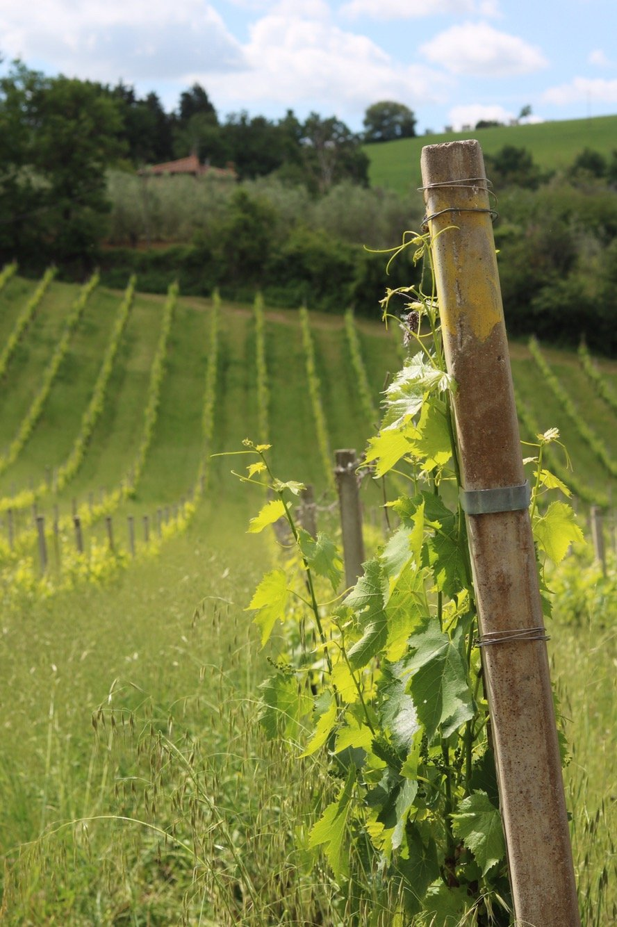 Visiting Cappella Sant'Andrea, a White Wine producing Vineyard in Tuscany