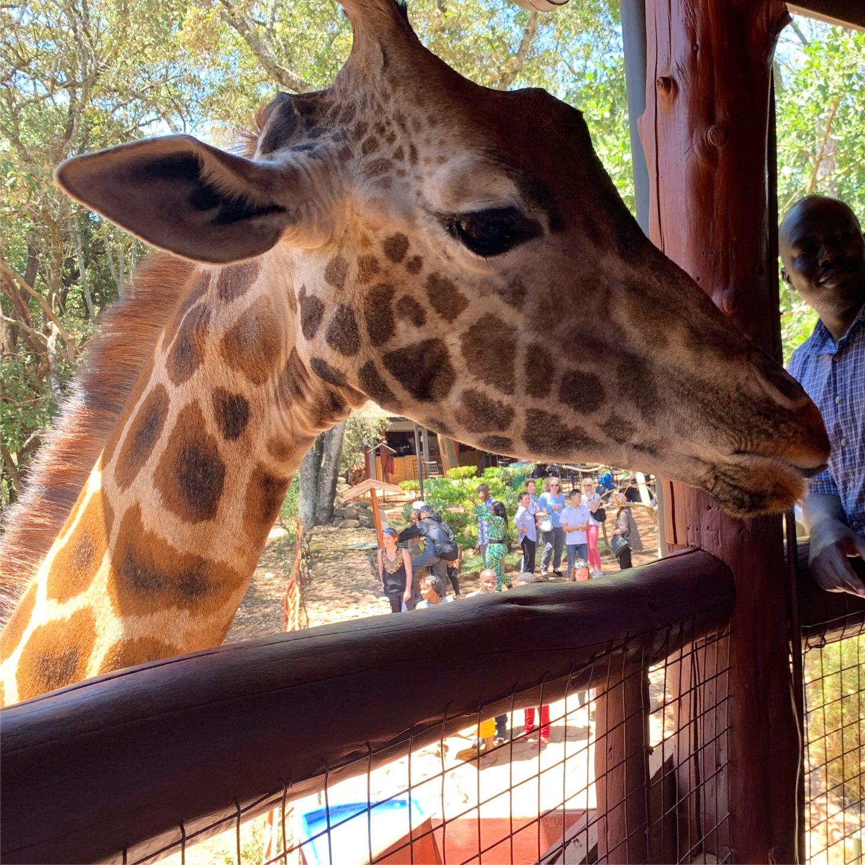 Giraffe Centre in Nairobi