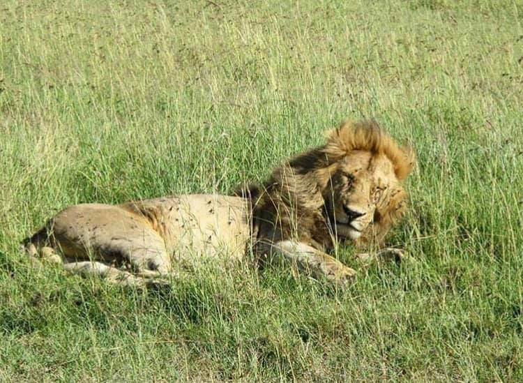Lions – The silent crisis impacting the king of the jungle