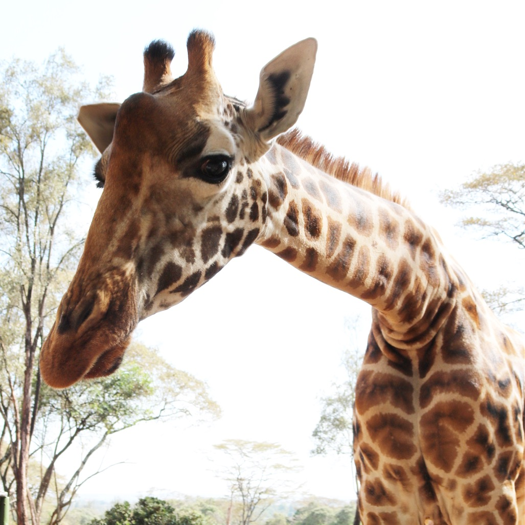 The slow extinction of the 'Gentle Giants' we know as Giraffes