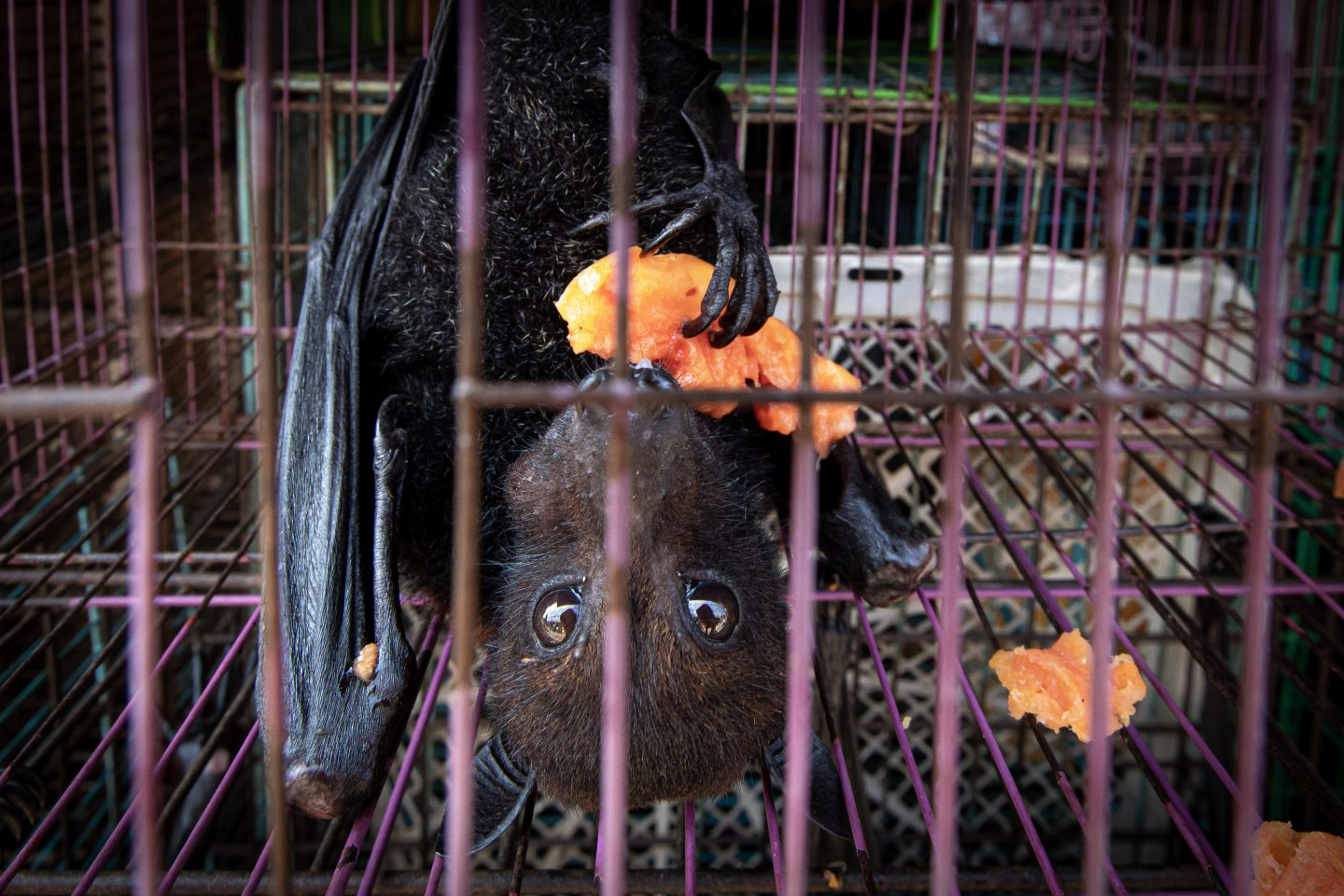 Cptive bat eating fruit, at a market in Indonesia.